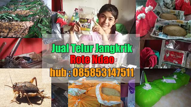 Jual Telur Jangkrik Rote Ndao Hubungi 085853147511