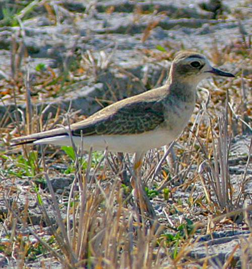Bird world - Image of Oriental plover - Charadrius veredus