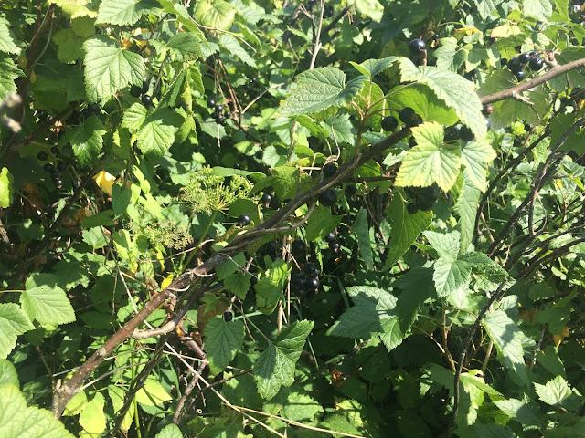 куст чёрной смородины со спелыми ягодами
