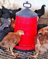 kırmızı etlik civciv piliç tavuk