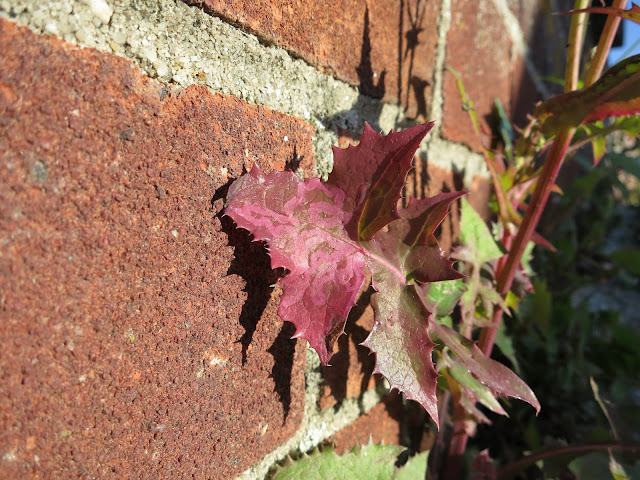 Fleshy red leaf against a red brick wall - probably Smooth Sow-thistle (Sonchus oleraceus)