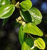 gambar daun bidara