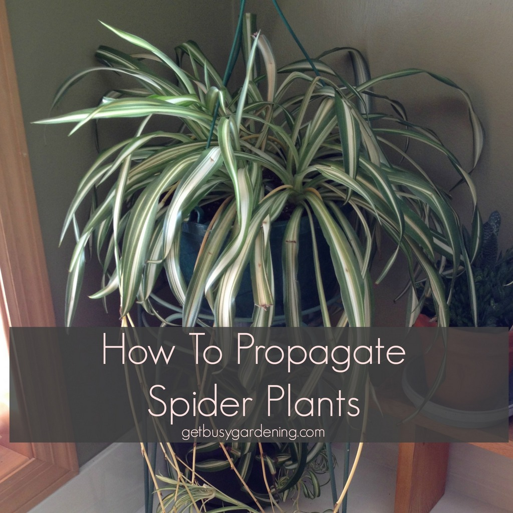 Growing A Spider Plant: How To Propagate Spider Plants For Your Home