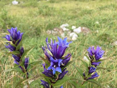 Gentiana asclepiadea - Willow Gentian (Genziana di Esculapio).