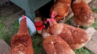 HenSafe chickens enjoying their winter tonic drink