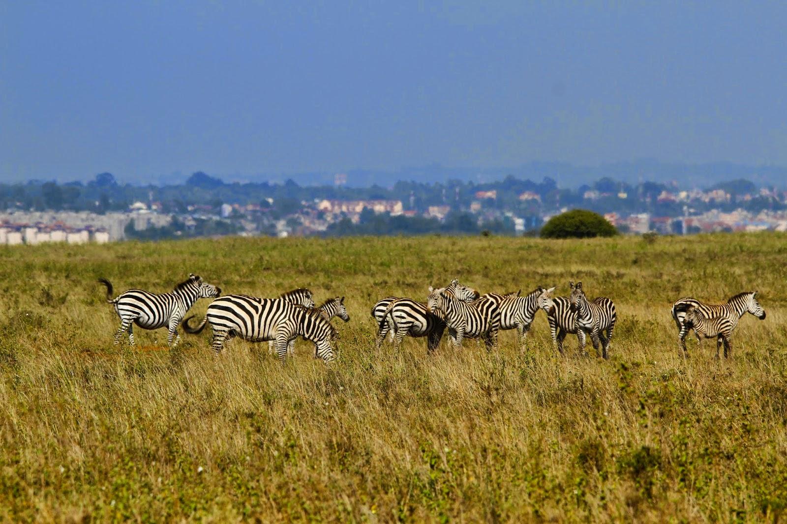 PARQUE NACIONAL DE NAIROBI - Savana junto à selva urbana   Quénia