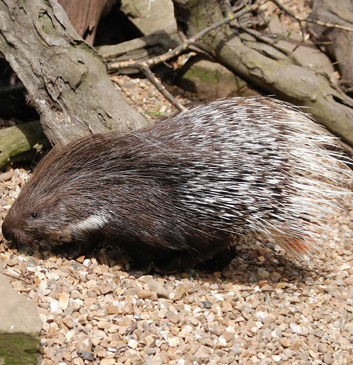 A porcupine with it's quills.