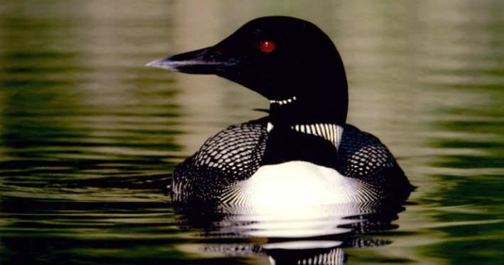 "The Use of Symbolism in ""The Loons"" by Margaret Laurence"