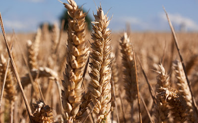 brown wheat close up widescreen resolution hd wallpaper