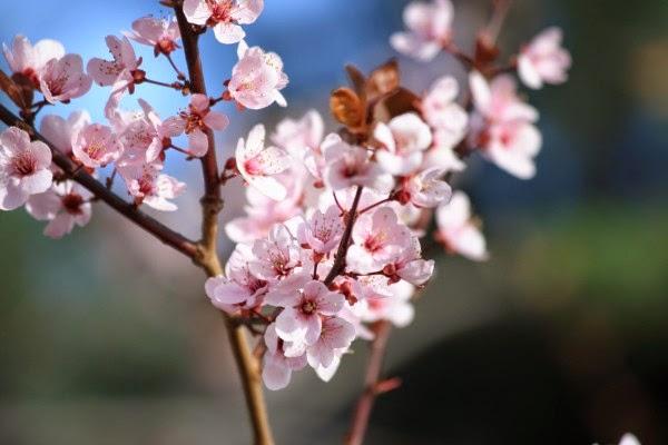 Falun Fr Poeme Fleurs De Pruniers