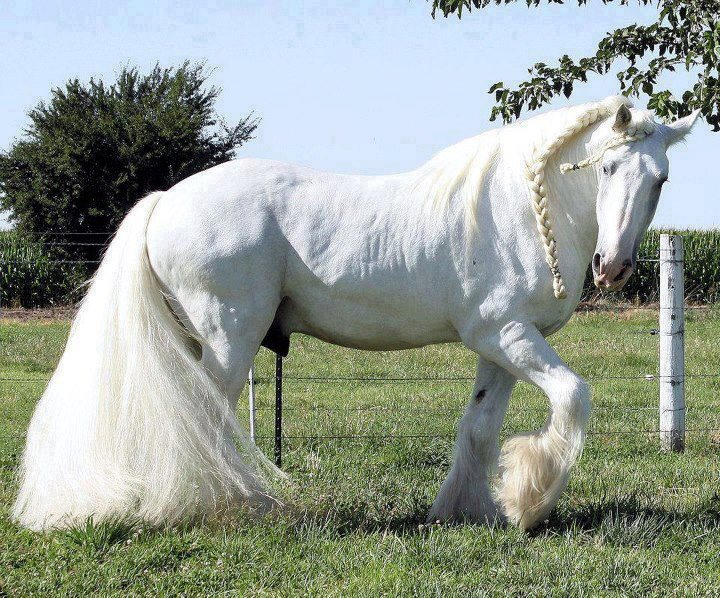 caballos finos percherones pura sangre color blanco