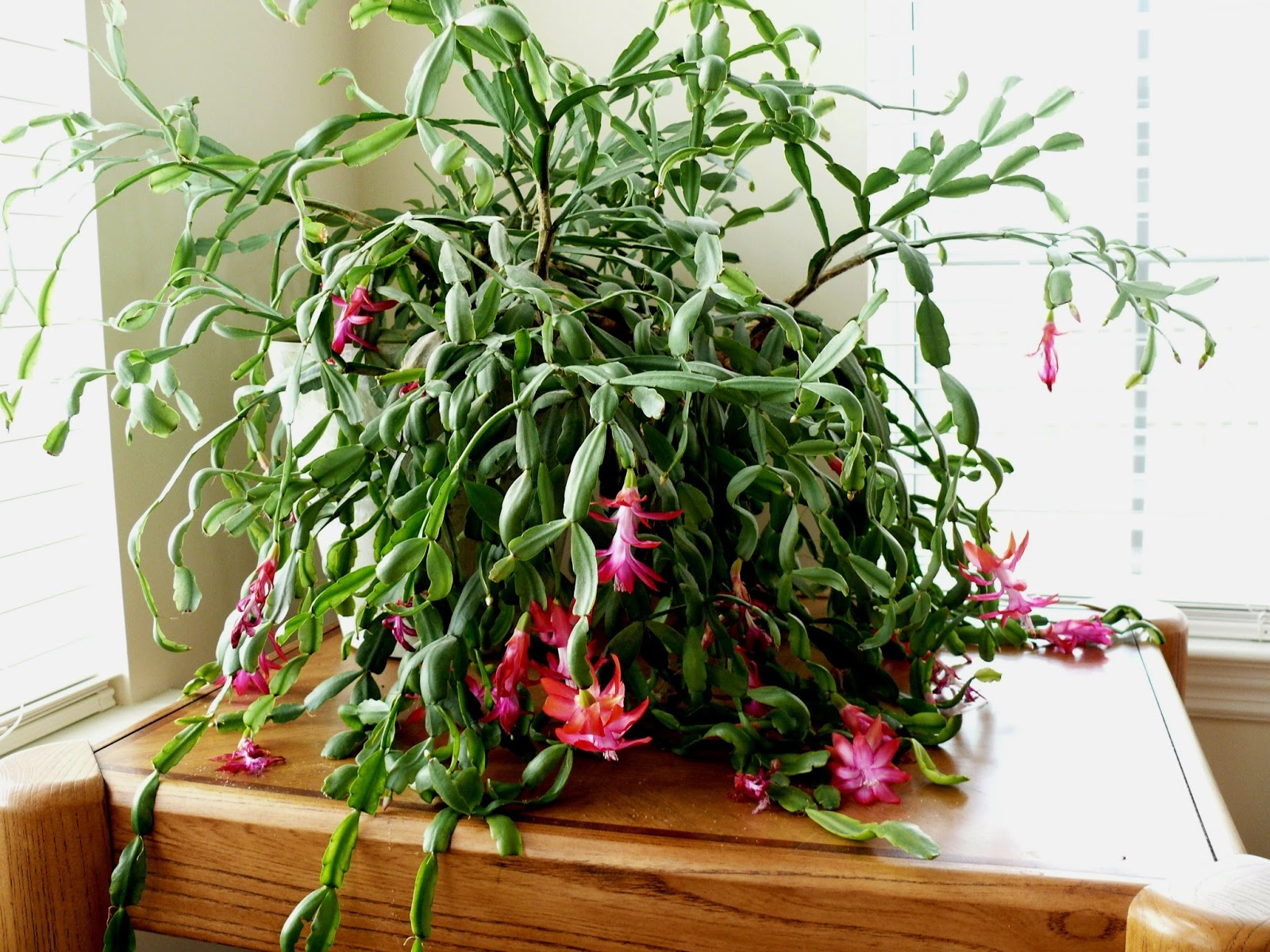 Travels And Discoveries The Easter Cactus