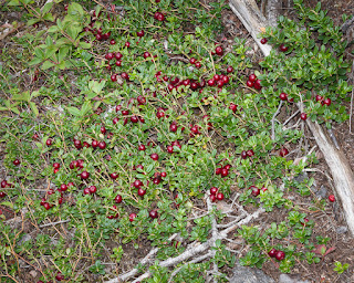 Partridgeberries, aka Lingonberries