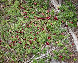 Partridgeberries, aka Lingonberries