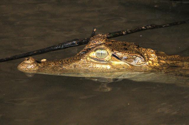Jacaretinga - Caiman crocodilus - Amazonia