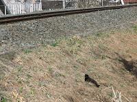 IMG_2230 線路脇にいる黒猫。
