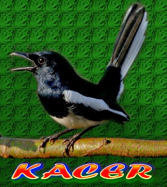 download mp3 burung kacer
