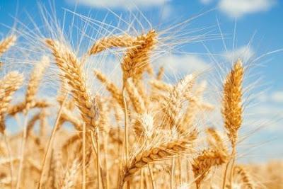 enfermedades relacionadas gluten trigo celiaquia intolerancia