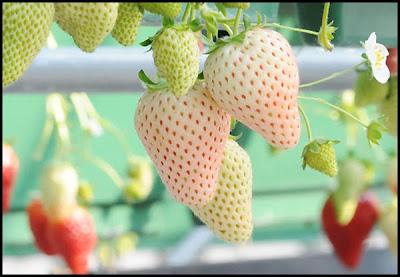 http://tipspetani.blogspot.com/2016/05/mengenal-buah-pinebery.html