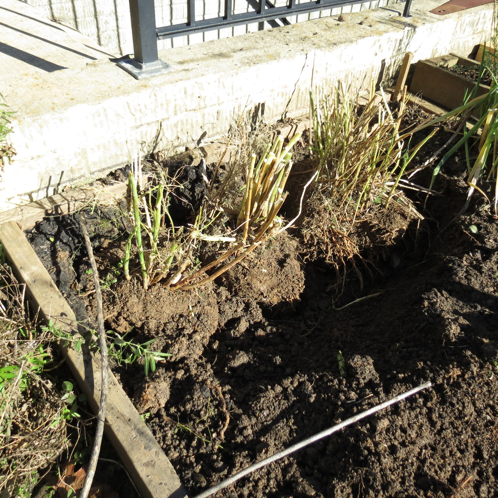 The Rusted Vegetable Garden: The Rusted Vegetable Garden: Digging Up And Transplanting