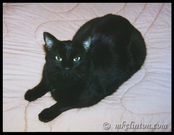 Solid black Manx cat