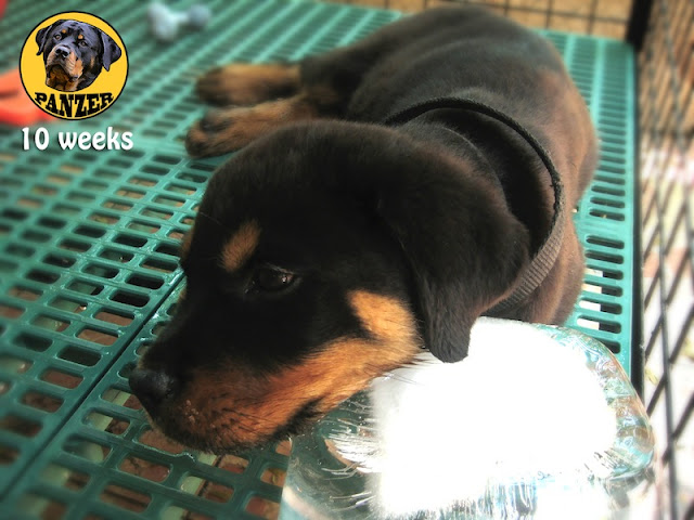 Rottweiler puppy photo