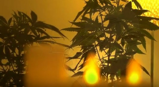Explores How The Cannabis Plant Procreates