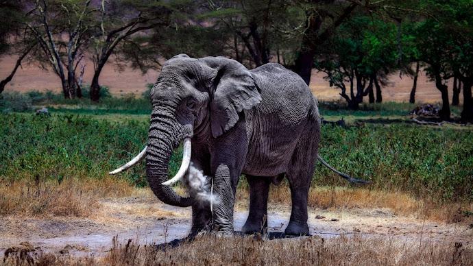 Wallpaper: Big Elephant in Serengeti