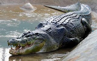 Fotografía del cocodrilo gigante Lolong