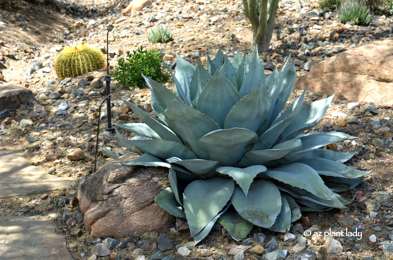 Drought Tolerant and Beautiful: Whale's Tongue Agave ...