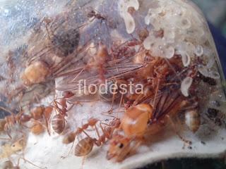 ratu semut rangrang
