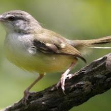 Cara Merawat Harian Burung Ciblek Gunung