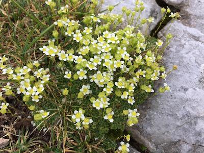 Saxifraga squarrosa – (Sassifraga delle Dolomiti)