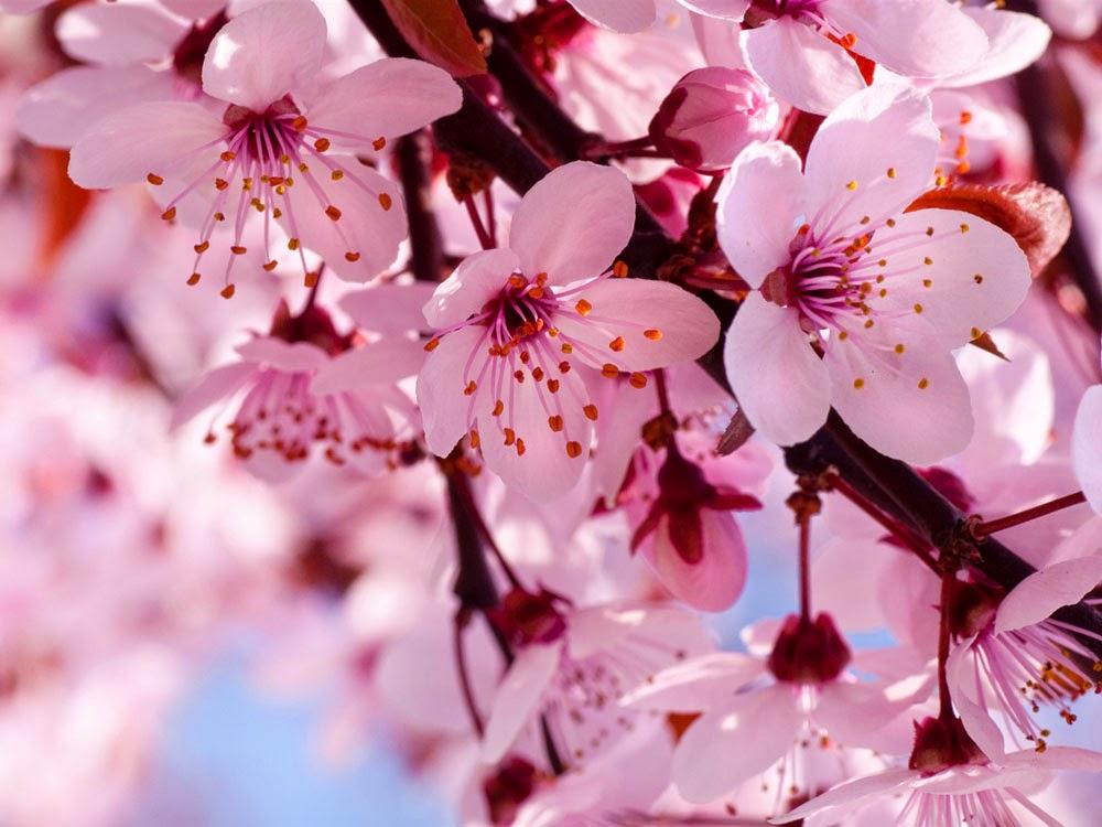 20 Gambar Bunga Sakura Jepang Tercantik Terindah