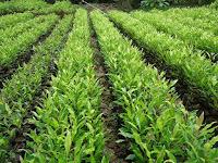 Dengan Polybag Proses Pembibitan Flora Cengkeh Bisa Menciptakan Hasil Jadi Melimpah Ruah