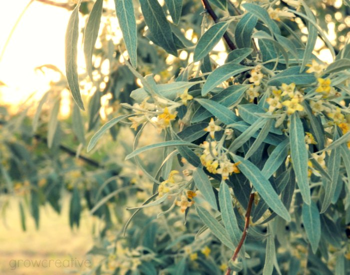 Russian Olive Tree Blossoms Photography: Grow Creative