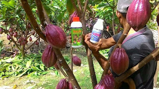 http://www.supernasagranule.com/2018/05/pupuk-untuk-merangsang-buah-kakao_16.html