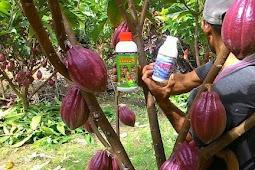 Pupuk Untuk Merangsang Buah Kakao