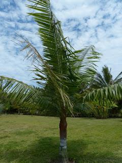 Palmier nounours - Palmier ours en peluche - Dypsis leptocheilos