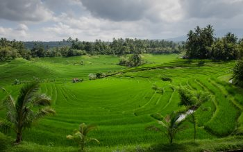 Wallpaper: Paddy field on Bali