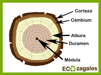 Dendro qu dendrocronolog a ecozagales for Imagenes de las partes del arbol