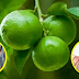 Incredible Health Benefits of Calamansi You Didn't Know Before