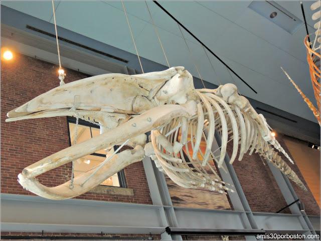 Esqueleto de Quasimodo en el Museo de las Ballenas de New Bedford