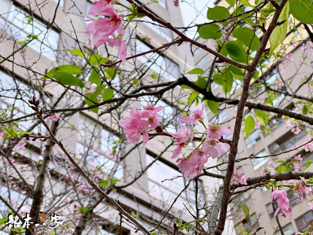 三峽北大賞櫻花兼野餐親子半日遊|賞花點不少值得散步走走喔