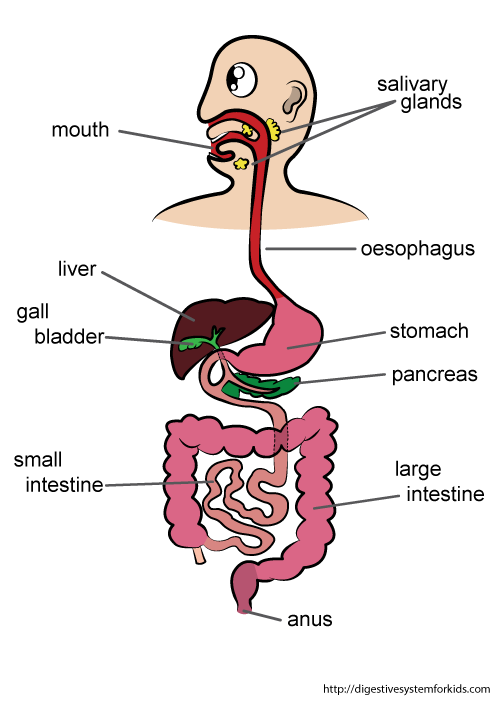 diagram of intestinal tract diagram of inside of a 747