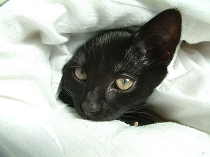 Black cat hiding in duvet