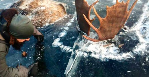 Dos alces que peleaban se quedaron congelados
