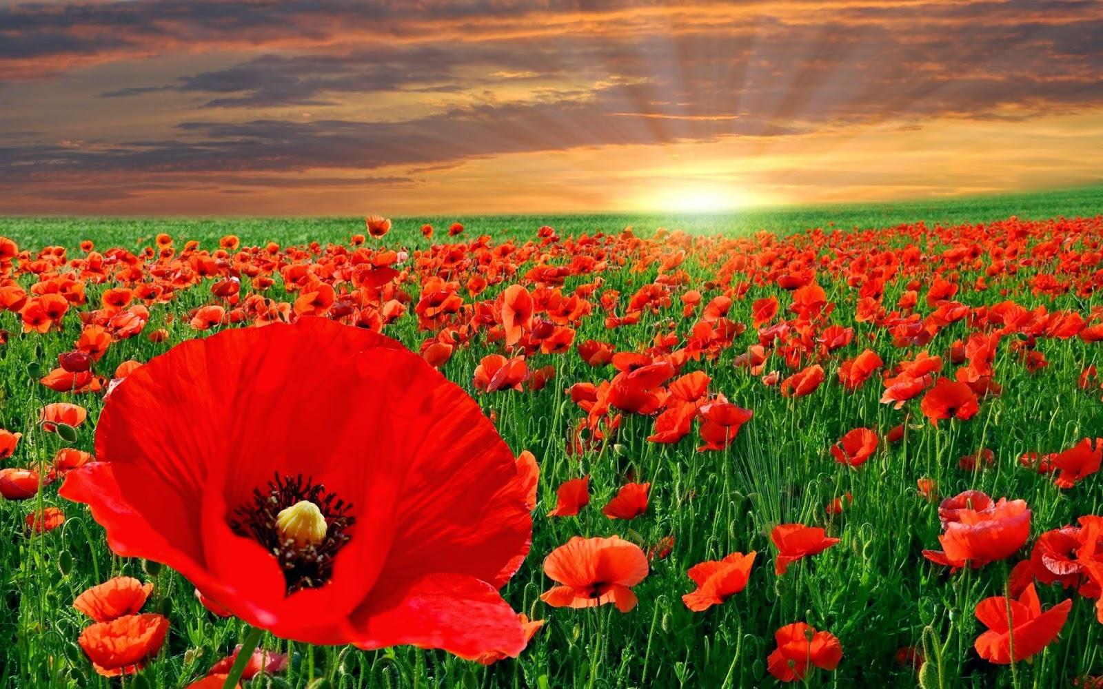 أجمل صورة زهرة حمراء