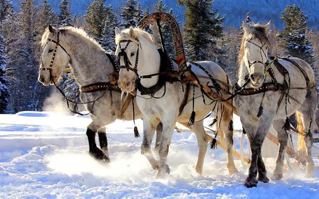 Witte paarden in de sneeuw met slee