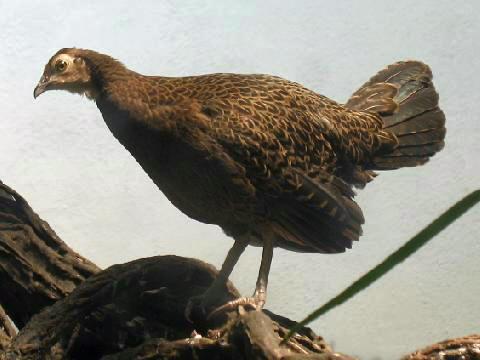Ciri - ciri ayam hutan hijau